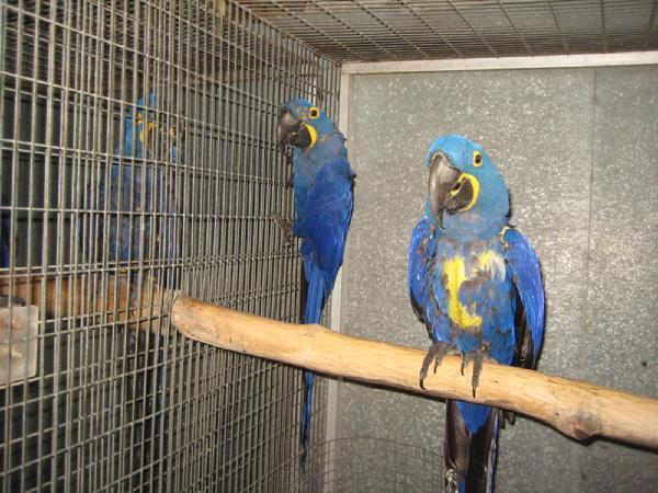 Birds - Hyacinth Macaw Young Pair Parrot on sale